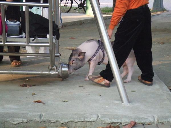 小舅家附近的公園的迷你豬