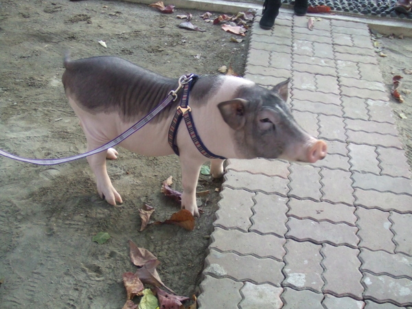mini pig 2