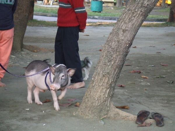 mini pig 3