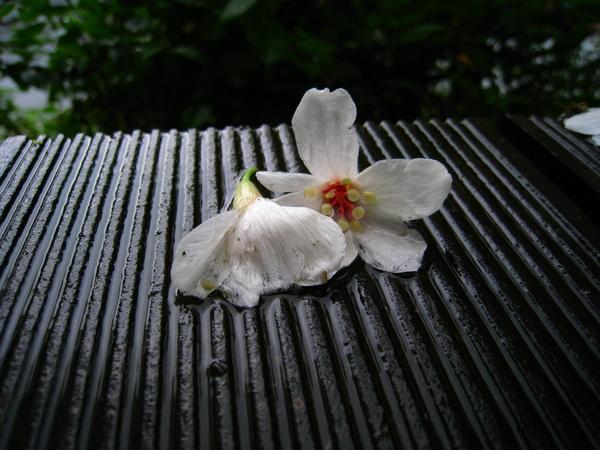 油桐花公園 233.jpg