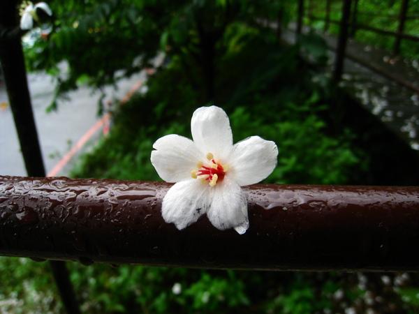 油桐花公園 237.jpg