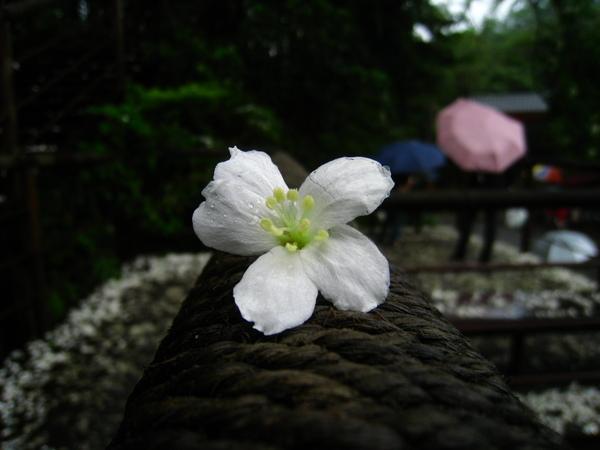 油桐花公園 238.jpg
