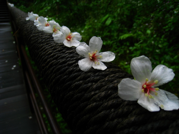 油桐花公園 242.jpg