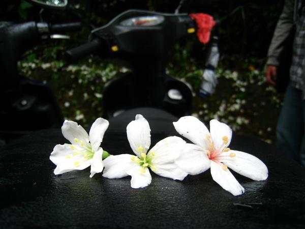 油桐花公園 275.jpg