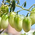 自家種的番茄 即將要成熟嚕