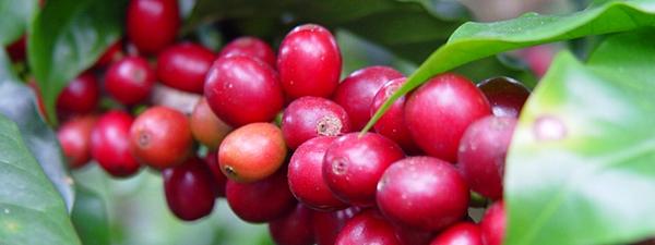 cherrybean900-237.png