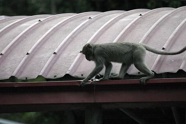 靈山有靈猴