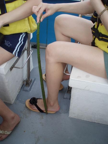 比小腿還長的水筆仔