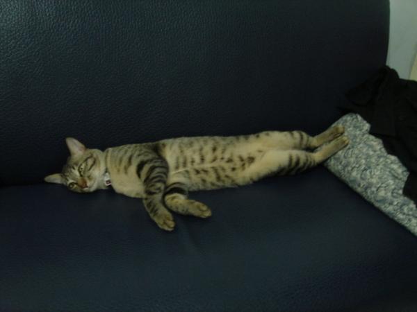 很喜歡睡成一直線的李拿鐵