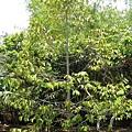 這顆是榴槤樹