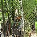 水椰子的花