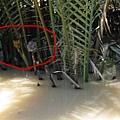 圈起來的是水椰子跟他的花