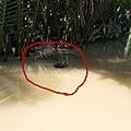在水中的水椰子