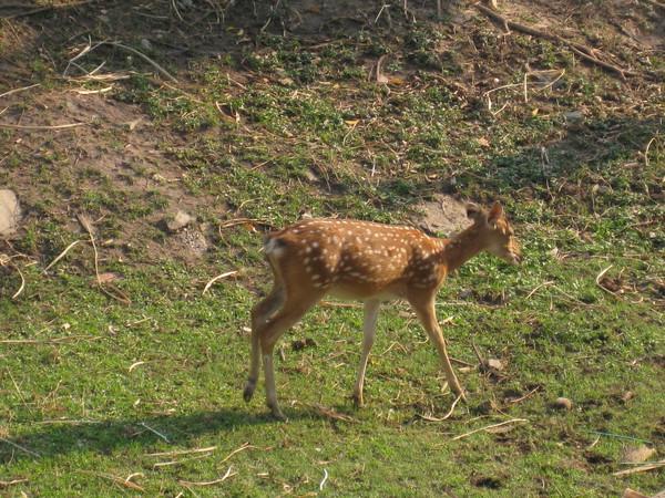 這是梅花鹿嗎