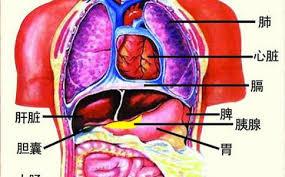 「心肝脾肺腎」的圖片搜尋結果