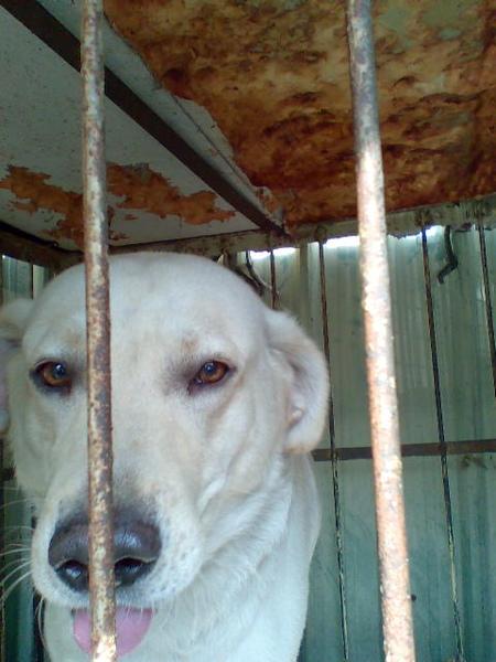 """我叫""""阿登""""~賓拉登ㄉ登~拉布拉多犬2009.4.4-6.jpg"""