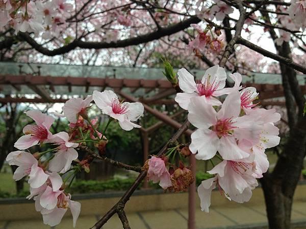 104.03櫻花