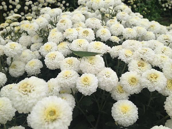 104.11銅鑼杭菊展