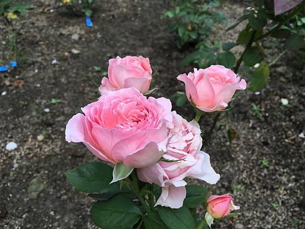 苗栗玫瑰園