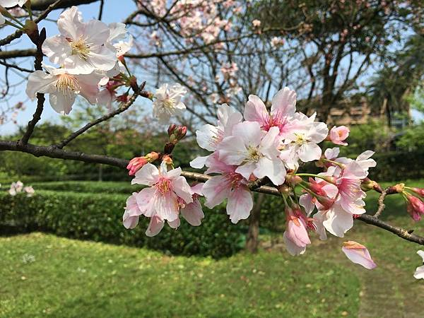 106年櫻花