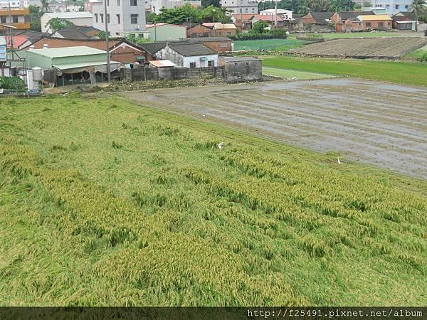 颱風橫掃過後的農田