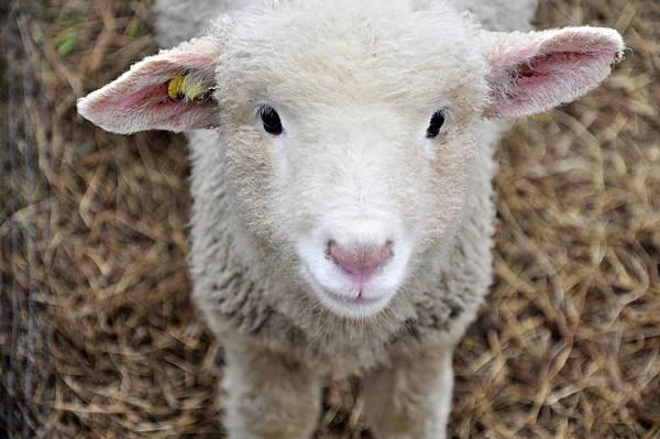 編號154可愛小綿羊.jpg