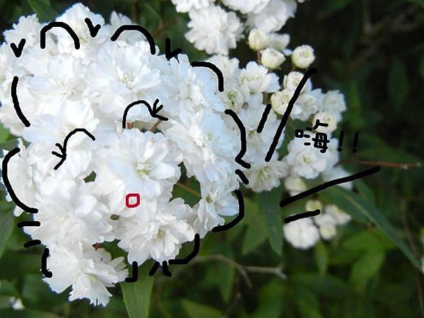 爆米花-麻葉繡球