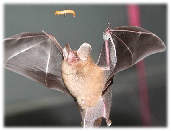 森林蝙蝠有較寬短的翅膀,在實驗室主要都以麵包蟲為主食