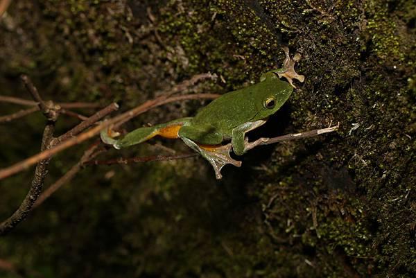 台北樹蛙2 (2)