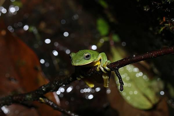 台北樹蛙2
