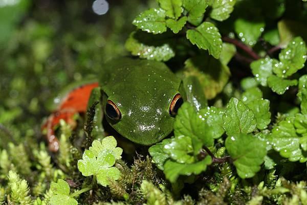 莫氏樹蛙2