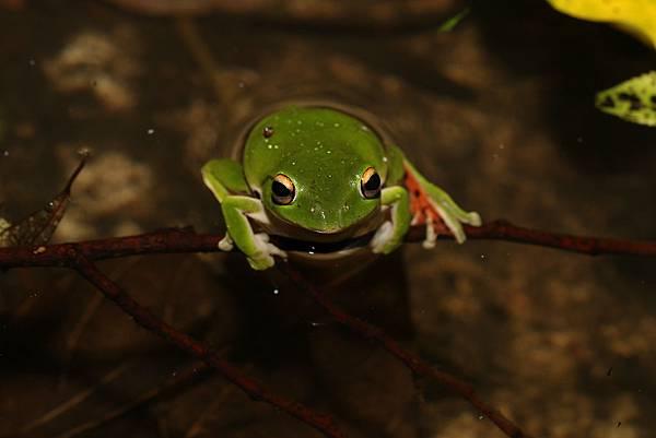 莫氏樹蛙1