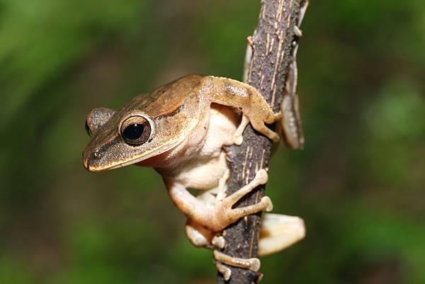 布氏樹蛙2