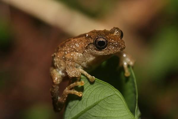 面天樹蛙1