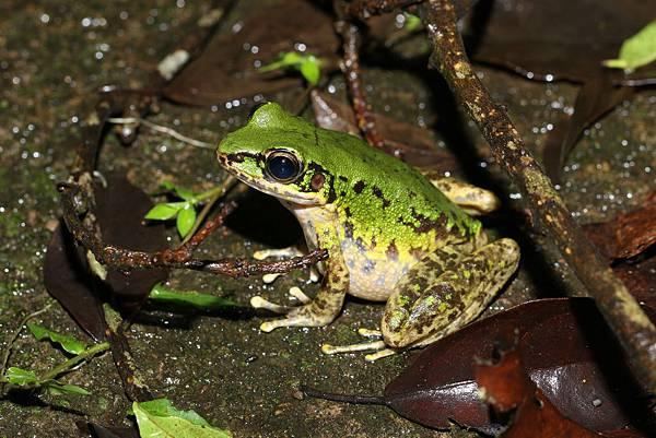 斯文豪氏赤蛙2