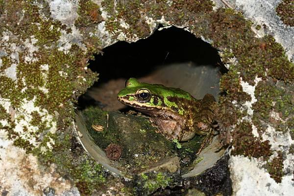 兩棲類-赤蛙科斯文豪氏-20090822東眼山
