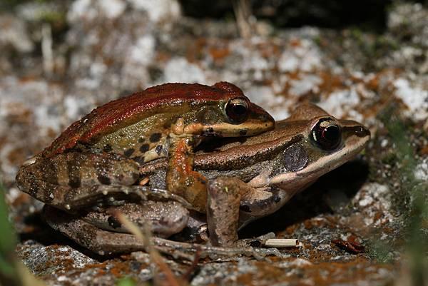 拉都希氏赤蛙1