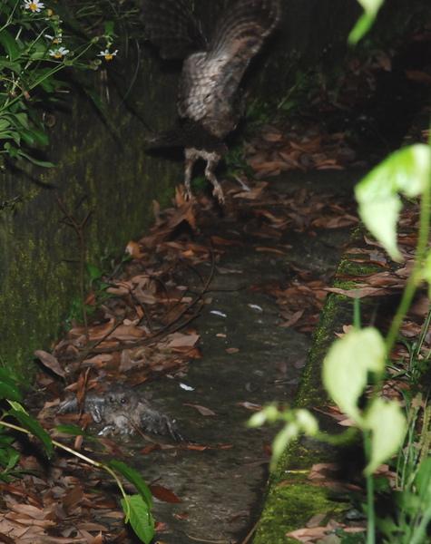 領角鴞(鴨子提供)