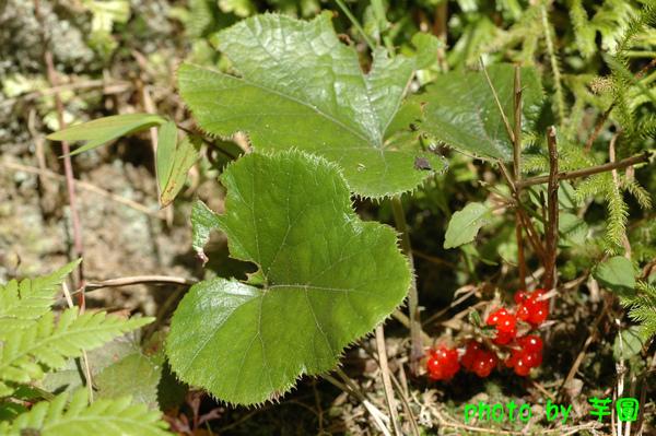 寒莓(1)