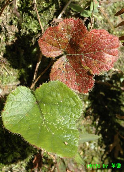 寒莓(3)