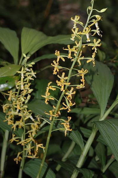 黃花肖頭蕊蘭2.JPG