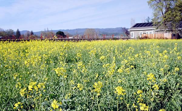 Napa- Mustard 1.JPG