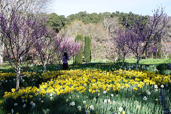 Daffodil Meadow水仙花園 (3).JPG