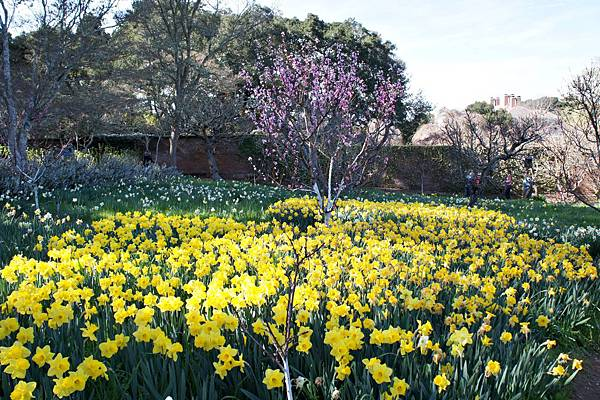 Daffodil Meadow水仙花園.JPG