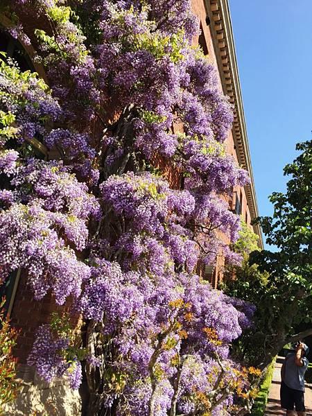 盛開的紫藤花.jpg