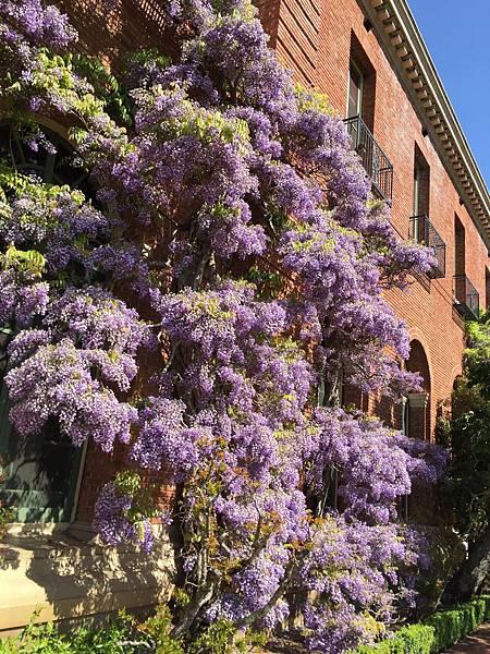 盛開的紫藤花_2.jpg