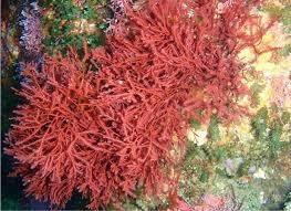 0803知識_珊瑚藻(一)