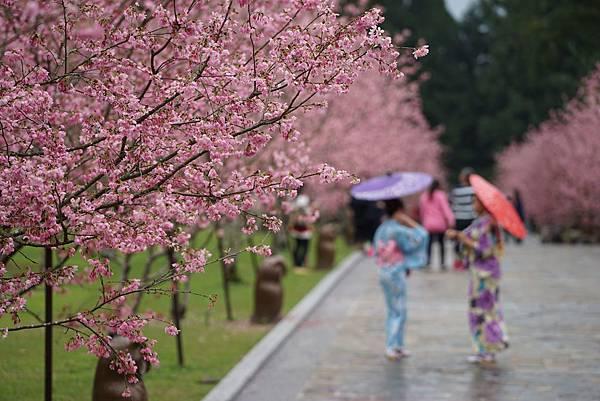 2017 九族櫻花祭
