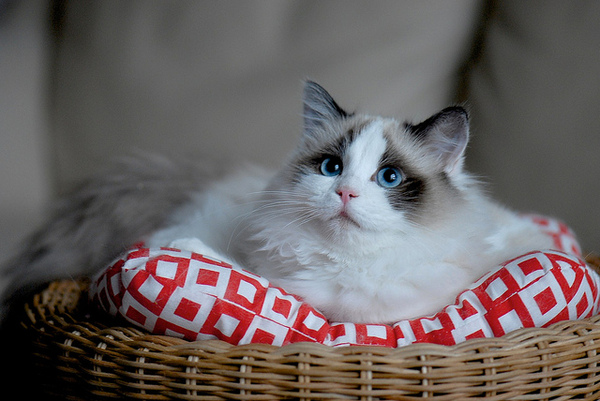 布偶貓-Samantha