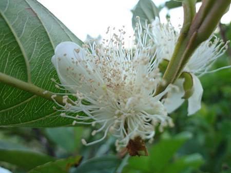 番石柳之花